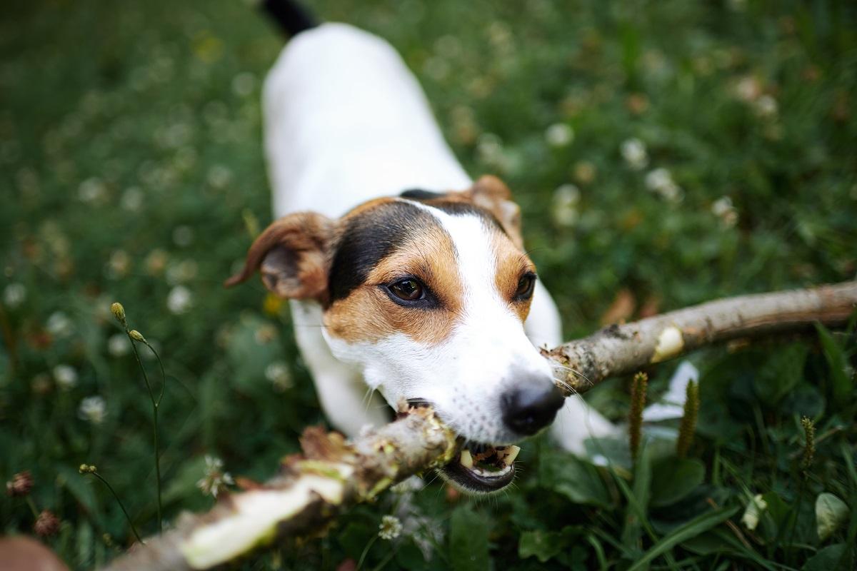 dog biting stick